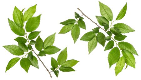 Elm green leaves with branch on stem isolated on white background