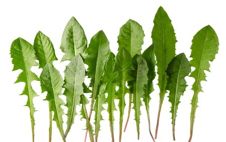 Row of dandelion green fresh leaves isolated on white background