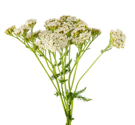 Yarrow blooms flowers on stalk bouquet isolated on white background