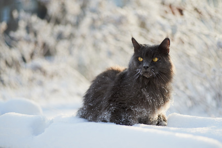 whiskers: A frosty day. Fluffy cat sitting on a snowy bench, the cat whiskers in hoar-frost.