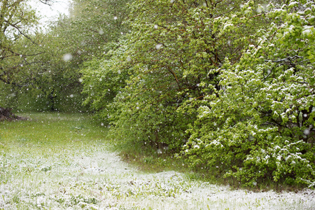 cataclysm: Weather anomalies. Snow in may. Spring. Snowfall.