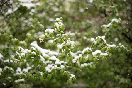 anomalies: Weather anomalies. Snow in may. Spring. Snowfall.