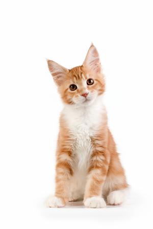 studio photography: Little red kitten sitting on white background. Studio photography.
