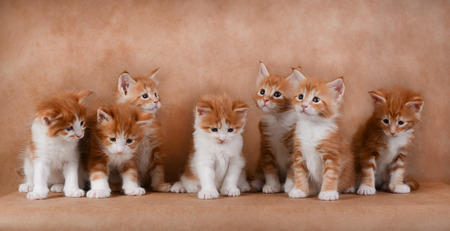 studio photography: Seven ginger kittens sitting on a beige background. Studio photography. Little kittens sitting in a row. Stock Photo