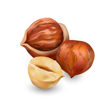 Hazelnut kernels are ripe and tasty, a healthy treat, a source of protein. For snacks and chocolate spread. Vector