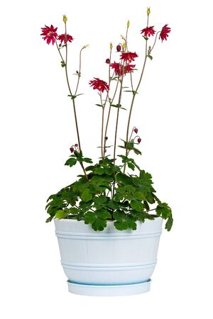 perennial: Aquilegia vulgaris L in bowl isolated on white background. A perennial garden plant.