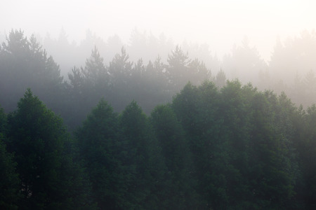 fog forest: Fog in the dense coniferous forest. Stock Photo