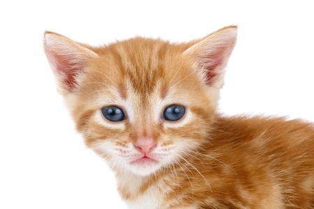 Auburn striped kitten on a white background.