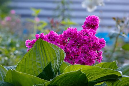 vulgaris: Viscaria vulgaris flowers in the garden outdoors. Stock Photo