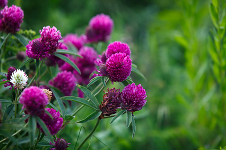 red clover: Red clover in the garden outdoors. Stock Photo
