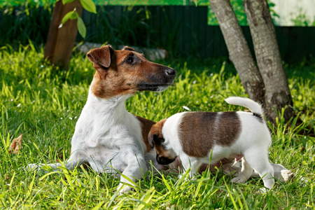 breastfeed: Purebred puppy smooth-haired fox terrier, drinking mothers milk. The family dogs in the park outdoors on green grass. Hunting dog.