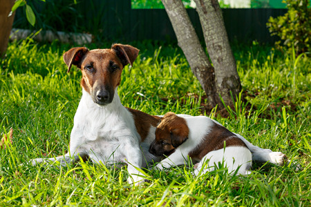 Purebred puppy smooth-haired fox terrier, drinking mothers milk. The family dogs in the park outdoors on green grass. Hunting dog.