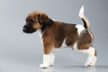 Smooth fox terrier. The puppy on a gray background, photographed close-up. Hunting dog. Stock Photo