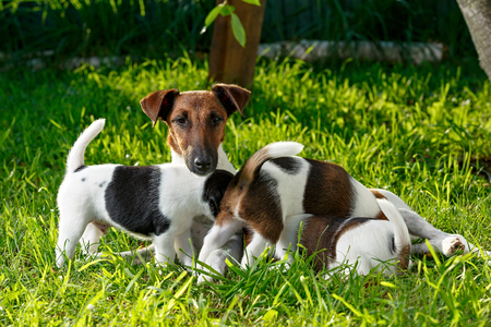 A purebred smooth-haired fox terrier, feeds her hungry puppies. The family dogs in the garden on the grass. Hunting dog.
