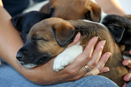 Smooth fox terrier puppies sleeping on hands of man. Family hunting dogs. Outdoors in park. Stock Photo