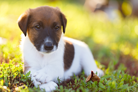 fox terrier puppy: Purebred puppy smooth-haired fox terrier is resting on a walk in the park outdoors, on the green grass. Hunting dog. Stock Photo