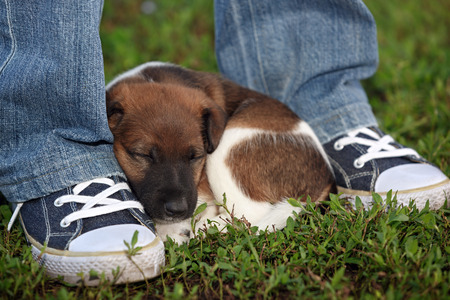 Tired puppy resting near the mans feet. In the park on the grass hunting dog, smooth fox terrier.