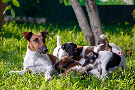 pups: A purebred smooth-haired fox terrier, feeds her pups. The family dogs in the park outdoors on green grass. Hunting dog.