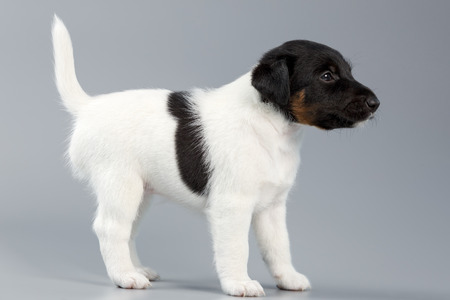 fox terrier puppy: Smooth fox terrier. The puppy on a gray background, photographed close-up. Hunting dog. Stock Photo