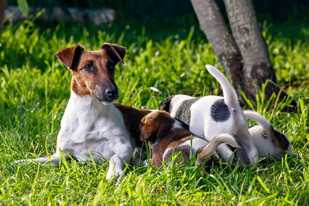 breastfeed: A purebred smooth-haired fox terrier, feeds her hungry puppies. The family dogs in the garden on the grass. Hunting dog.