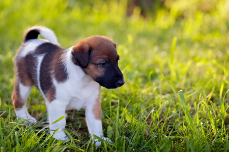 Purebred puppy smooth-haired fox terrier, walks in the park outdoors, on the green grass. Hunting dog.