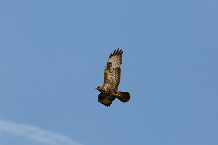 Buzzard with spread wings on the background of the morning sky. Buteo buteo Stock Photo