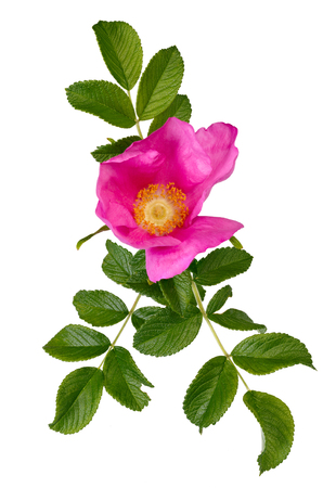 Buds of blossoming Rosa rugosa with leaves, isolated on white background.