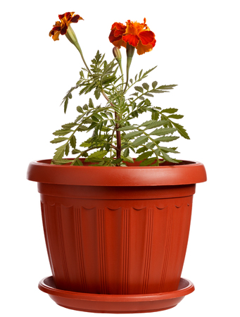 pot marigold: Buds of a blooming flower Marigold in a pot isolated on white background.