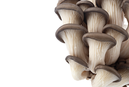 Oyster mushrooms for cooking, photographed close up and isolated on white background.