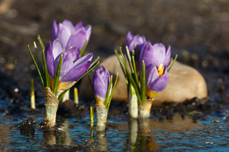 Spring flowers after melting snow. Blooming crocus buds are reflected in the water during springtime warming.