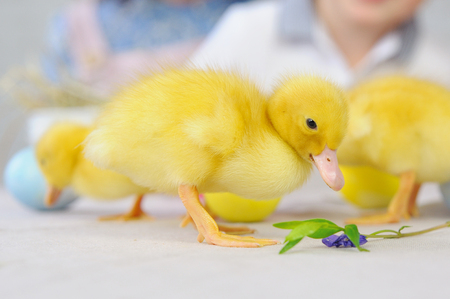 Cute yellow little ducklings on the wooden table in the room. Easter concept Standard-Bild - 117757672