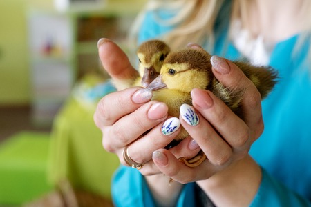 Two little ducklings in the hands of mother and daughter on a green background. Easter concept 版權商用圖片