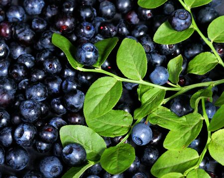 beautiful blue bilberries