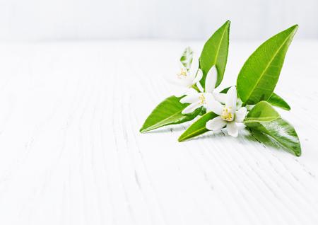明るい背景にネロリ (ダイダイ) 桜の花。選択と集中。 写真素材