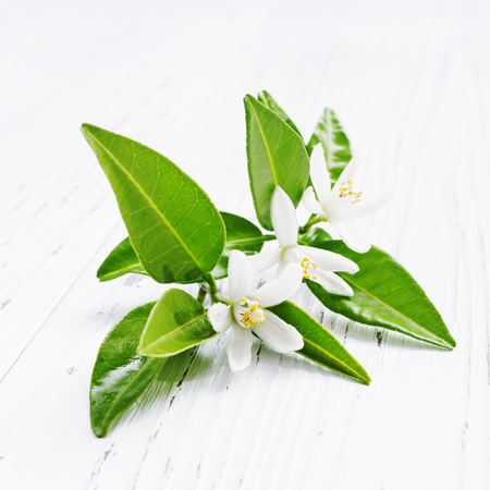 Neroli (Citrus aurantium) blossoms  flowers on light background. Selective focus. Stok Fotoğraf