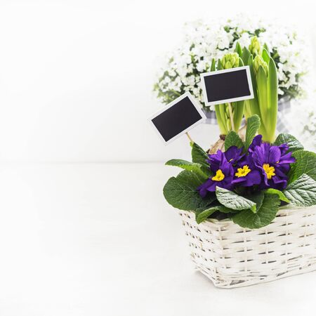 Spring flowers  violet primroses, hyacinths with frame for text on white background, copy space. 写真素材