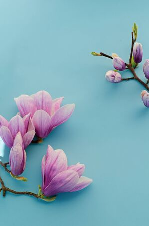Magnolia blossom on pastel blue background. Copy space, top view, flat lay.
