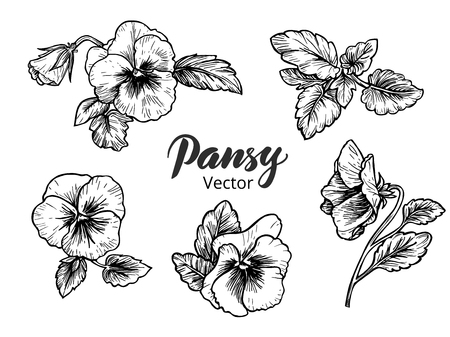 vector flowers: Hand drawn pansy flowers. Vintage style vector illustration.