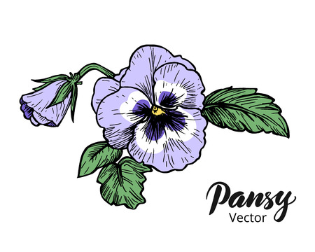 illustration isolated: Hand drawn pansy flowers. Vintage style vector illustration.