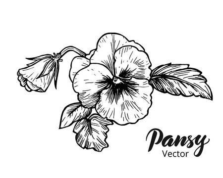 pansy: Hand drawn pansy flowers. Vintage style vector illustration.