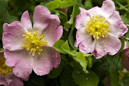 roseleaf: Beautiful flower-dogrose with wet petals at a dawn in the early spring morning
