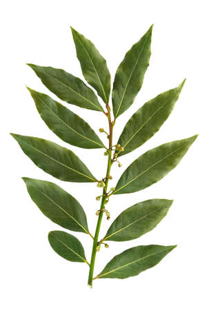Bay leaf-fragrant culinary seasoning isolated on white background Stock Photo