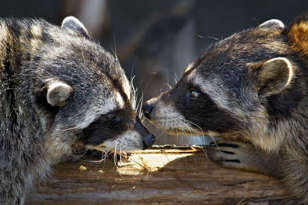 reproduction animal: Love marriage games of raccoons-young animals in  spring