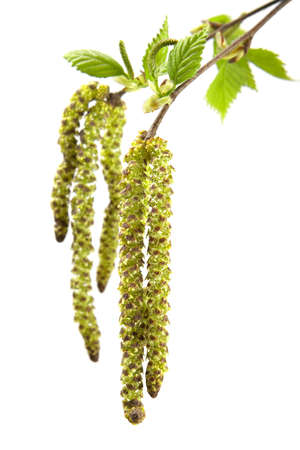 leaflets: Perfect spring foliage-young sticky leaflets of a birch  Stock Photo