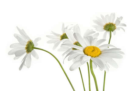 daisy stem: Bouquet of daisy flowers isolated on white background