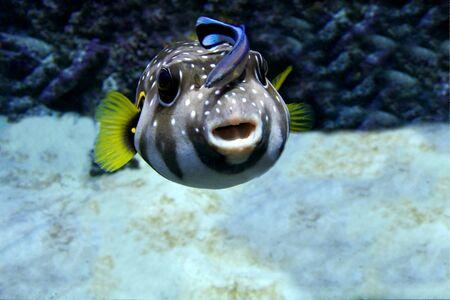 Arothron hispidus and Labroides dimidiatus. Doctor fish is sitting on aratron. Stock Photo