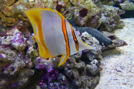 Butterfly fish tweezers (Chelmon rostratus) swims on coral background