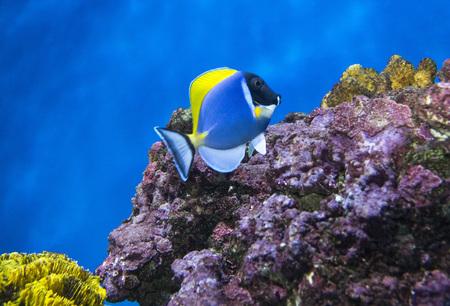 acanthurus leucosternon: Tropical fish. (Acanthurus leucosternon) Whitechest blue surgeon on a blue background and purple stones.