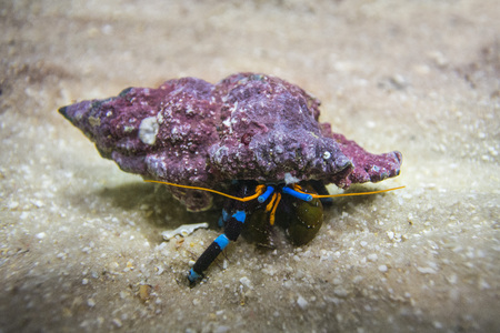 Electric Blue Hermit Crab hid in its shell colorful on the sand Stock Photo