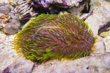 Polyphyllia talpina, Tongue coral, slipper coral.A large brown polyp with green tentacles. Hard coral.